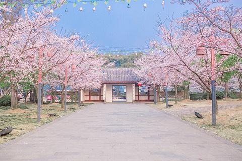 樱花谷的图片