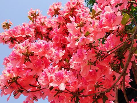 唐韵樱花园旅游景点图片