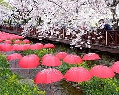 釜山, 一场樱花盛宴 ~ 釜山、镇海、庆州的浪漫樱花邂逅