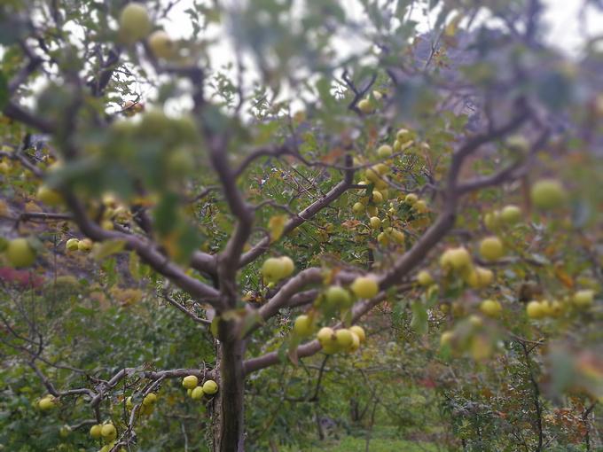 茶店子出发,到达松坪沟,摘苹果图片