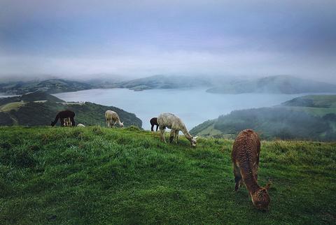 莎玛拉羊驼牧场的图片