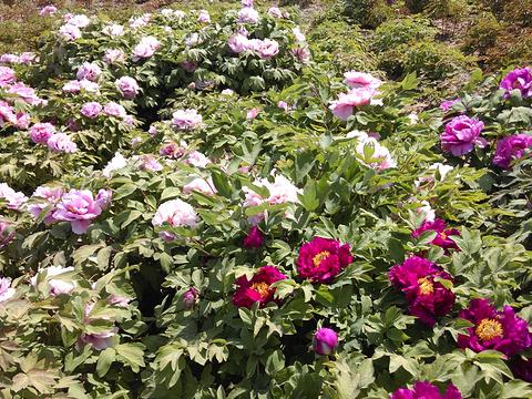 曹州牡丹园旅游景点图片