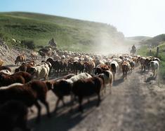 看着牛羊 走错方向