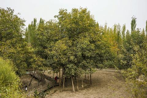 核桃王树旅游景点攻略图