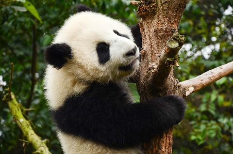 成都大熊猫繁育研究基地旅游景点攻略图