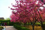 中国国花园