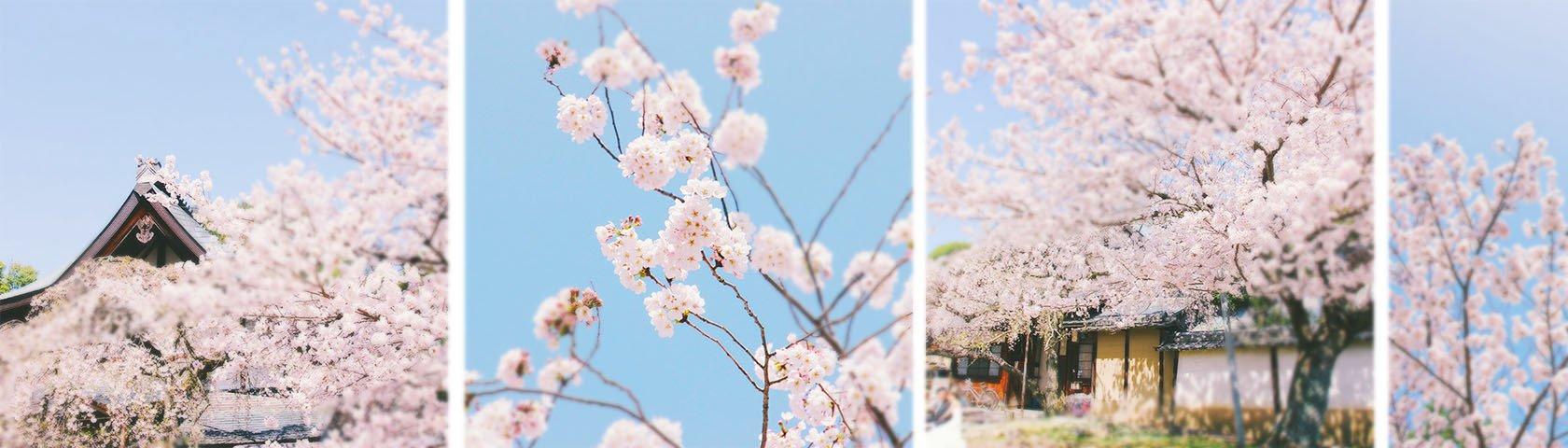 樱花在等我,一期一会