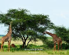绿季陪我去非洲草原看海吧