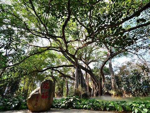 芒令独树成林旅游景点图片
