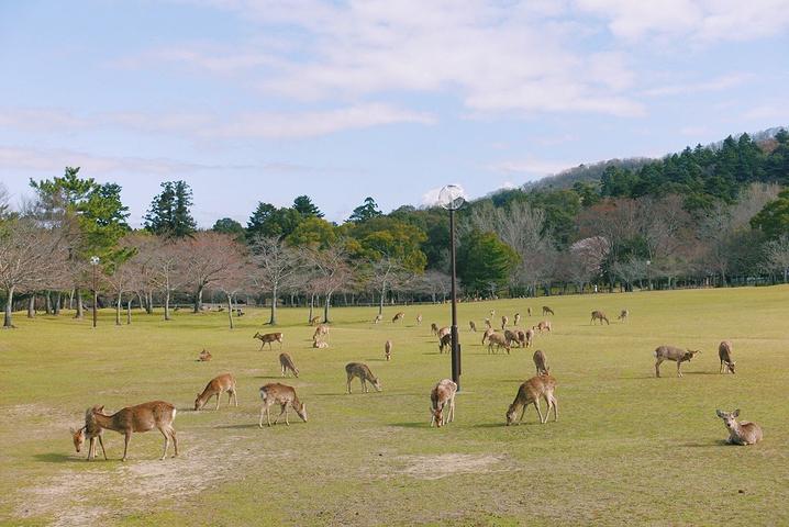 """""""奈良的鹿在人们心中是神的使者,任何伤害鹿..._奈良公园""""的评论图片"""