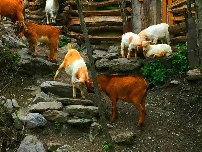 牛羊作伴图片