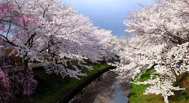 追樱2015--精心策划樱花季,日本东京箱根大阪