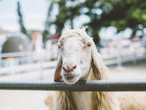 小瑞士绵羊牧场旅游景点图片