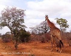 南非:野性优雅——国庆11日自驾克鲁格公园+花园大道
