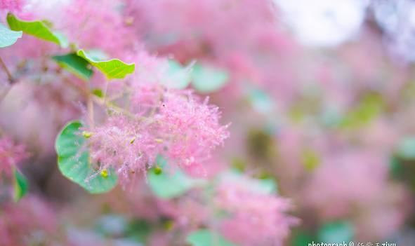 北京周边这里如仙境 粉色的春天开满黄栌花