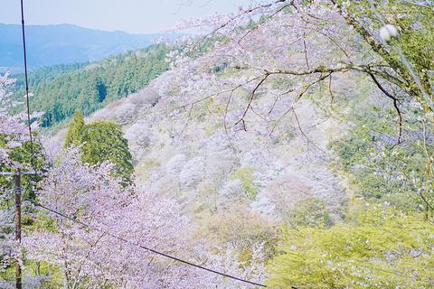 吉野山的图片
