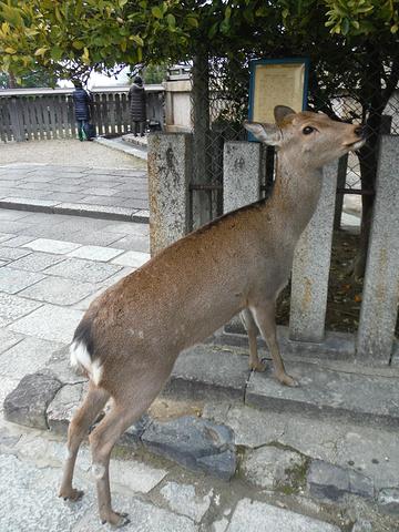 """""""奈良首推的景点就是兴福寺,从奈良站出来后大部分人都是选择一路直走,最先到达的就是兴福寺,藤原家..._兴福寺""""的评论图片"""
