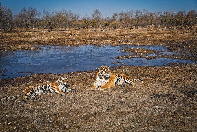 东北虎林园图片