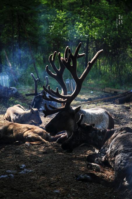 敖鲁古雅驯鹿之乡图片