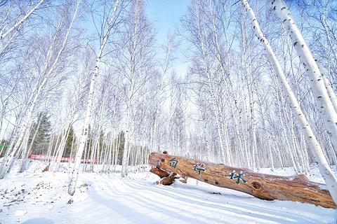 白桦林的图片
