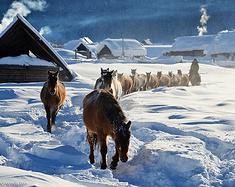 冬季北疆喀纳斯禾木
