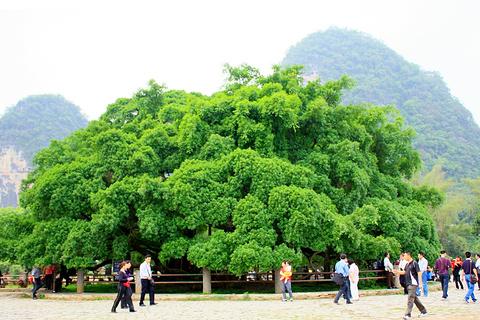 大榕树旅游景点攻略图