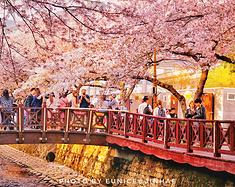 嘘~去思密达过樱花节【江原道,釜山,首尔】