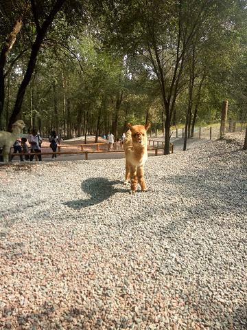 """""""...多去的,等了十来分钟,注意中午11点到两点是高峰,等的时间太长,节假日时间还要长,最好别做大客_北京野生动物园""""的评论图片"""