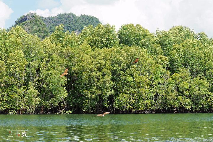 """""""在红树林一带真的很多老鹰,飞得特别快,有时候相机真的很难捉拍到。_红树林生态保护区""""的评论图片"""