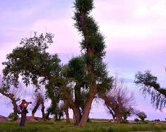 怪柳村和宝古图沙漠