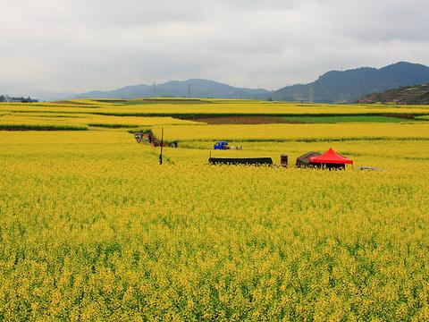 罗平油菜花海旅游景点图片