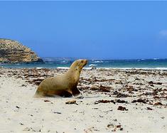 【南澳】袋鼠岛没护栏的野生动物园之旅