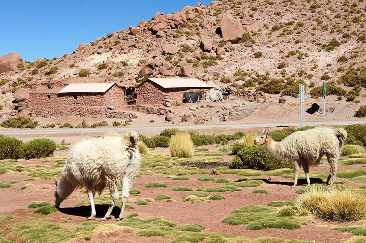 """""""...点被全身披彩的打扮起来和游客合影,但在山村里,农家院子里和河谷里也能看到好多散养的,特点就是萌_阿塔卡马沙漠""""的评论图片"""