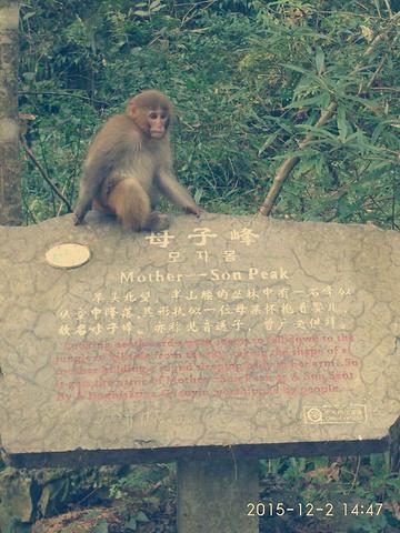 """""""特别是刚进入景区到金鞭溪的路上,到处可以看到猴子跑到路上向游人要食物!金鞭溪路上有很多景点,母子峰_张家界国家森林公园""""的评论图片"""