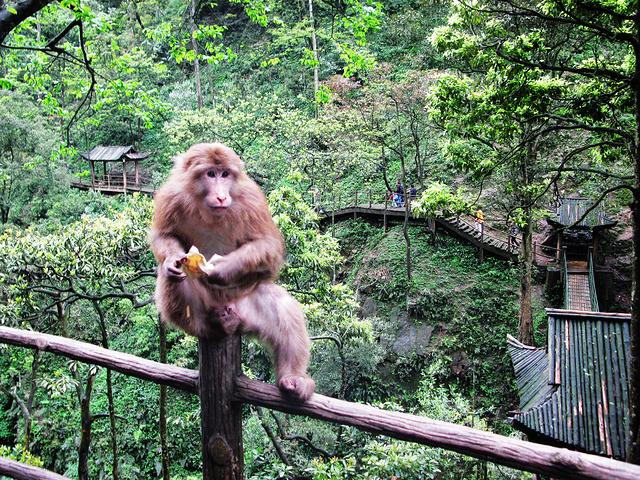 """""""但是一路的猴子特别的多,这一路的风景都没法欣赏到,全部注意猴子去了。更不要想象去喂食猴子了_峨眉山生态猴区""""的评论图片"""