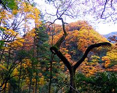 秋季赏秋叶——去光雾山欣赏吧~