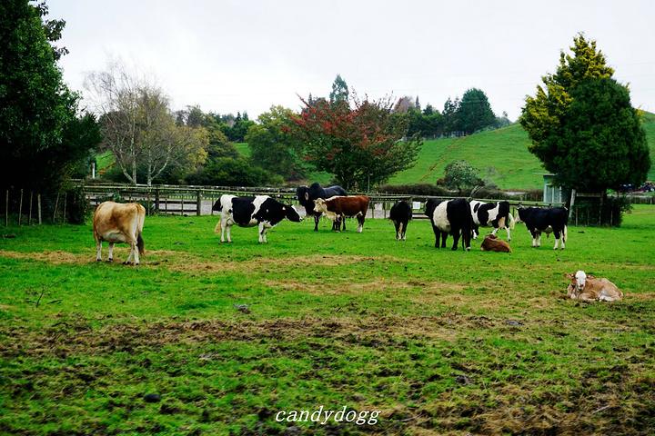 """""""接着去新西兰的皇家牧场爱歌顿农庄,占地约..._爱歌顿牧场""""的评论图片"""