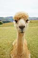 Shamarra Alpaca Farm
