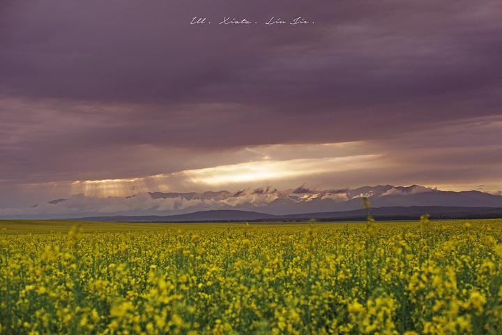 """""""但山谷和草原上百花齐放的盛景恍如仙境,尤其是在一处名为""""汗亚拉克众神的花园""""的所在,色彩缤纷的..._昭苏油菜花""""的评论图片"""