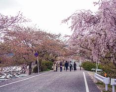 铁道樱花之旅:关西,以花为名的毕业季(内附超详细赏樱路线推荐!)