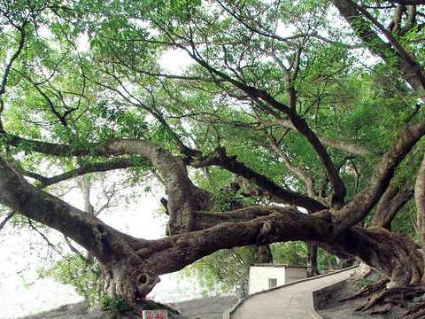 大榕树旅游景点图片