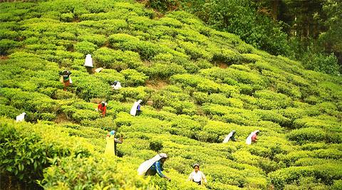 锡兰红茶田