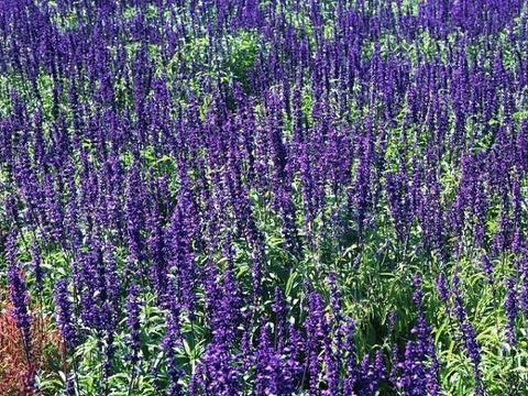成都普罗旺斯国际薰衣草庄园