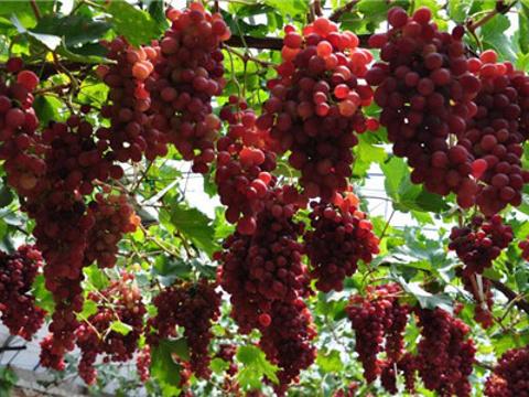 世界葡萄博览园旅游景点图片