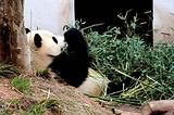 休宁大熊猫生态乐园