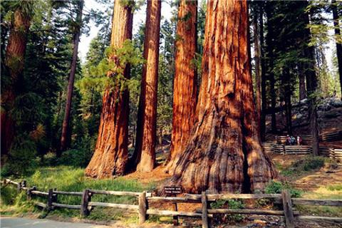 马里波萨谷巨杉林的图片