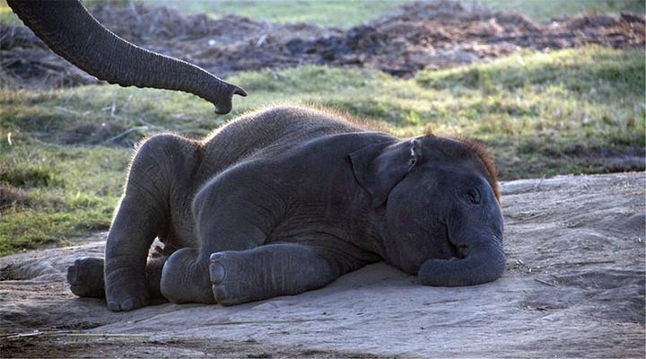 大象繁殖中心旅游图片