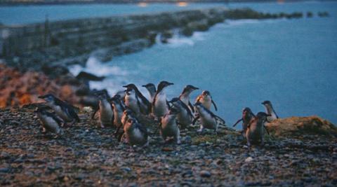 小蓝企鹅聚居地