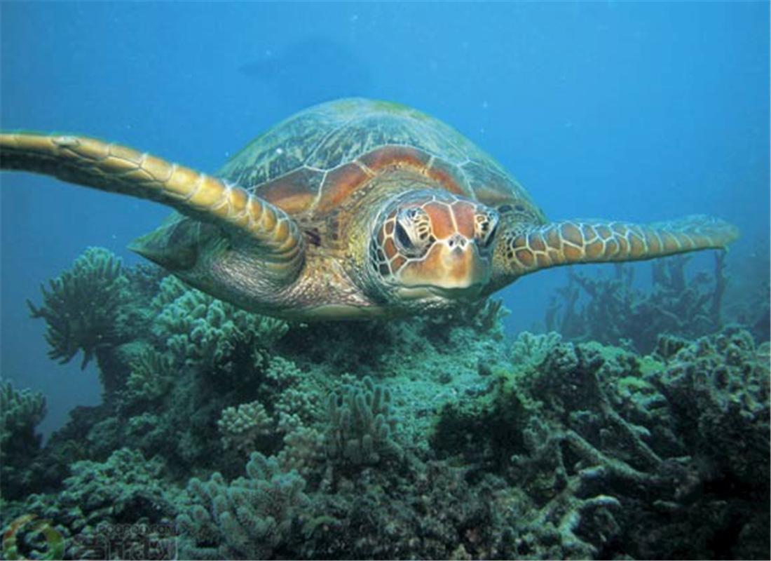 昆士兰海龟观赏节Turtle Season in Queensland