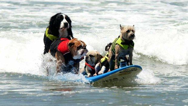 狗狗冲浪比赛(SURF DOG)